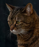 Retrato do gato de gato malhado do animal de estimação Foto de Stock