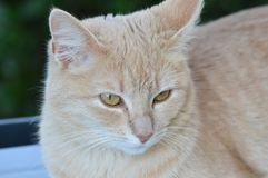 Retrato do gato de gato malhado doméstico fotografia de stock royalty free