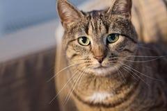 Retrato do gato de gato malhado em casa Foto de Stock