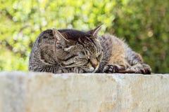 Retrato do gato de gato malhado marrom bonito do sono foto de stock