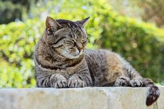 Retrato do gato de gato malhado marrom bonito do sono imagem de stock royalty free