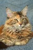 Retrato do gato de racum novo bonito de maine Imagem de Stock