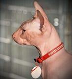 Retrato do gato de Sphynx imagens de stock