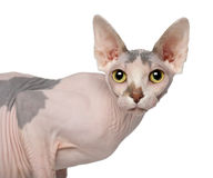 Retrato do gato de Sphynx, o 1 anos de idade Imagens de Stock