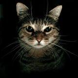 Retrato do gato de Tabby Foto de Stock