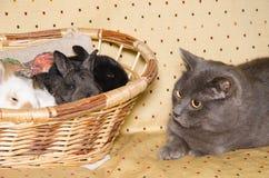 Retrato do gato do chartreux que olha coelhos do bebê Fotografia de Stock