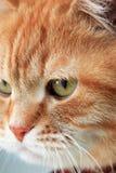 Retrato do gato do gengibre Imagens de Stock