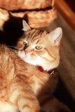 Retrato do gato do gengibre Imagens de Stock Royalty Free