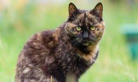 Retrato do gato doméstico do gato malhado no jardim com olhos amarelos Imagem de Stock Royalty Free
