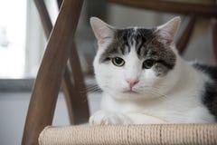 Retrato do gato doméstico do shorthair Imagem de Stock