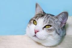 Retrato do gato doméstico que encontra-se na cama Imagens de Stock Royalty Free