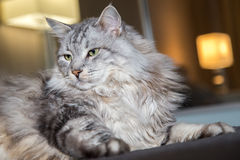 Retrato do gato horizontalmente Imagem de Stock Royalty Free