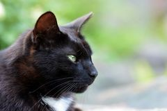 Retrato do gato preto Imagens de Stock