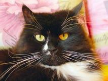 Retrato do gato preto agradável Fotografia de Stock Royalty Free