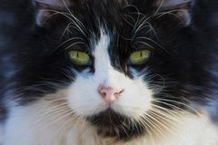 Retrato do gato preto e branco ilustração royalty free