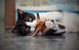 Retrato do gato preto e branco que joga com um brinquedo em um assoalho Fotos de Stock Royalty Free