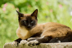 Retrato do gato Siamese Imagem de Stock Royalty Free