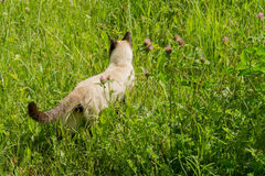Retrato do gato Siamese Imagem de Stock