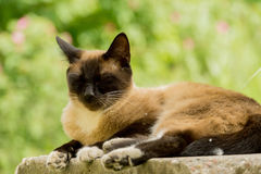 Retrato do gato Siamese Imagens de Stock Royalty Free