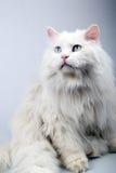 Retrato do gato velho. Fotografia de Stock Royalty Free