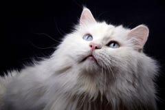 Retrato do gato velho. Fotos de Stock Royalty Free