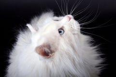 Retrato do gato velho? Fotografia de Stock Royalty Free