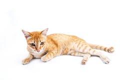 Retrato do gato vermelho Imagem de Stock