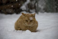 Retrato do gato vermelho no inverno fotografia de stock royalty free