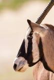 Retrato do Gemsbok que está no sol quente de kalahari Imagens de Stock Royalty Free