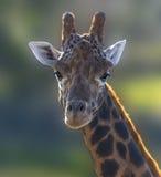 Retrato 4 do girafa Foto de Stock