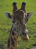 Retrato 2 do girafa Foto de Stock