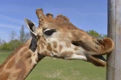 Retrato do girafa imagens de stock