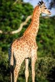 Retrato do girafa em um savana Fotos de Stock Royalty Free