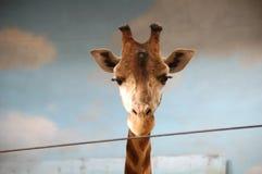Retrato do girafa no jardim zoológico foto de stock