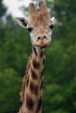 Retrato do Giraffe Imagem de Stock
