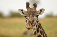 Retrato do Giraffe Imagem de Stock Royalty Free