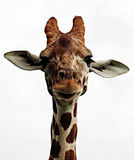 Retrato do giraffe Fotografia de Stock Royalty Free