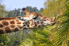 Retrato do giraffe que come as folhas Imagem de Stock