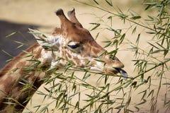 Retrato do giraffe que come as folhas fotos de stock