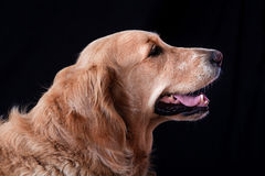 Retrato do golden retriever Imagem de Stock