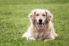 Retrato do golden retriever na natureza Foto de Stock Royalty Free