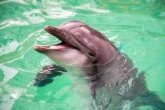Retrato do golfinho comum fotografia de stock