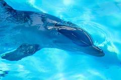 Retrato do golfinho comum imagem de stock