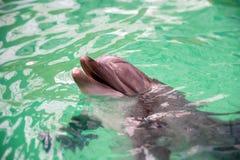 Retrato do golfinho comum na água de um dolphinarium foto de stock royalty free