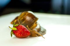 Retrato do grande caracol de Brown Achatina que come morangos maduras vermelhas Fotos de Stock