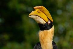 Retrato do grande hornbill fotografia de stock