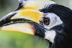 Retrato do grande pássaro colorido do hornbill no fundo verde da folha imagem de stock royalty free