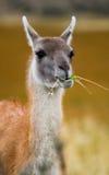 Retrato do guanaco Torres Del Paine chile Imagens de Stock Royalty Free