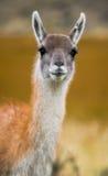 Retrato do guanaco Torres Del Paine chile Foto de Stock Royalty Free