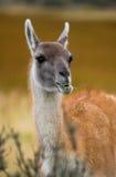 Retrato do guanaco Torres Del Paine chile Fotografia de Stock